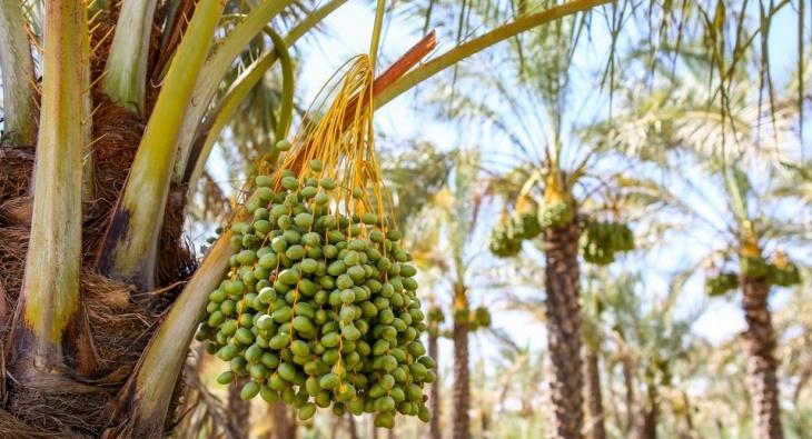Dattelpalmen in Bushehr
