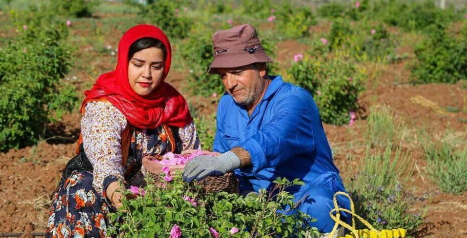 Ernte von Mohammadi-Rosen im Dorf Zanasudsch in Alamut