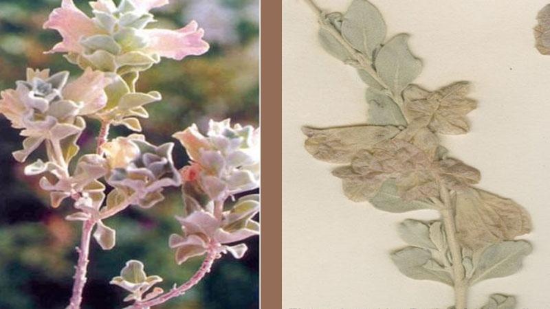 Die Arzneipflanze Mur Chosch (Zhumeria majdae)