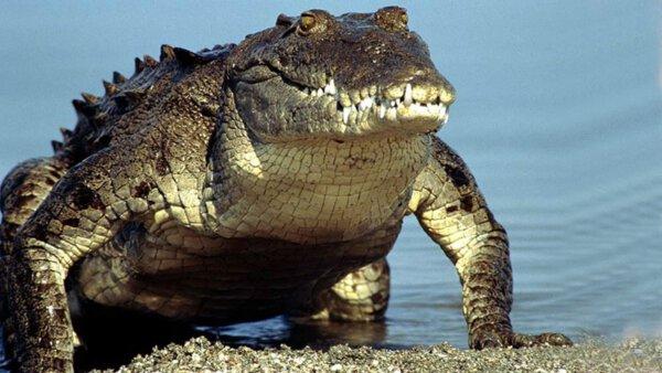 Das Sumpfkrokodil Gandu – ein iranisches Reptil