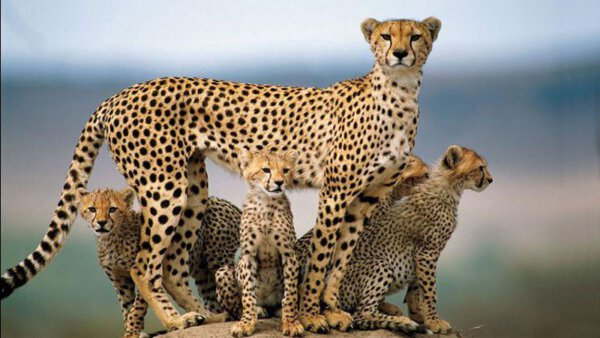 Der iranische Gepard - Seltene Tierarten in Iran
